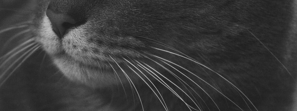 Gatos: ¿por qué ya no nos dan alergia?