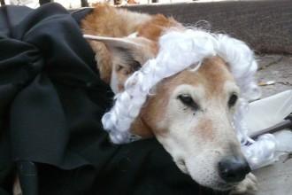 Un perro descansa aun vestido.