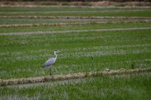 La calma del arrozal valenciano.